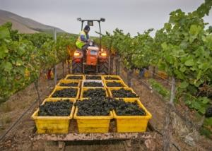 A picture of full grape bins at morning harvest