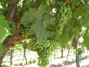 A photo of grapes at harvest