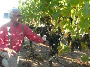 Growing Petit Verdot - Louis Lucas