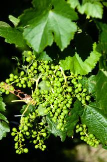 Young grapes at harvest